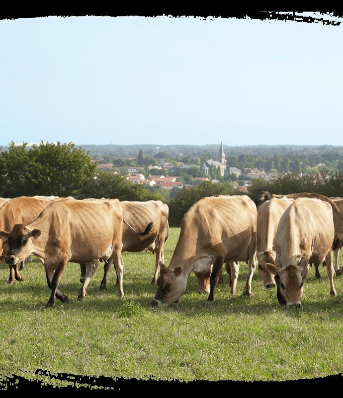 Bien être animal - vaches en liberté