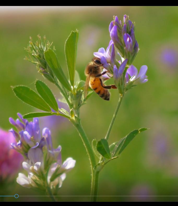 Écologie, abeille sur une fleur